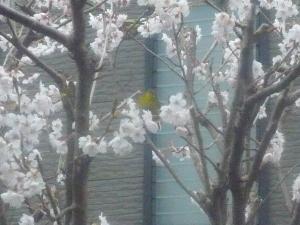 桜にめじろ